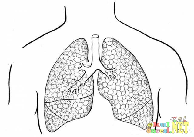 Yeşilay Haftası Için Akciğer Boyamaları Okul öncesi Okul öncesi